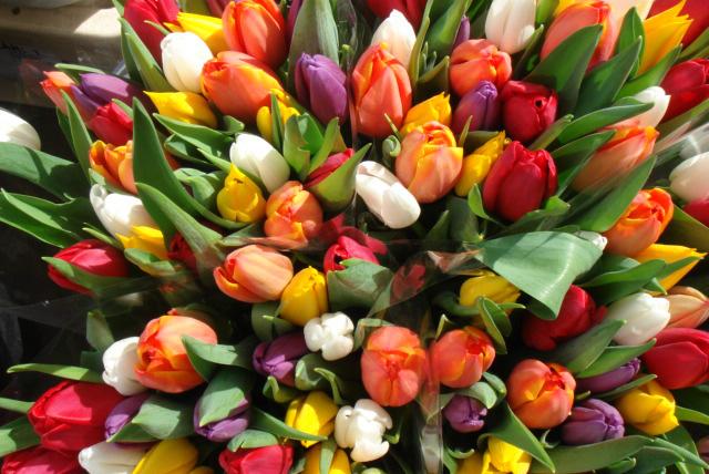 Выращивание тюльпанов к 8 Марта: подарки любимым и прибыльный бизнес