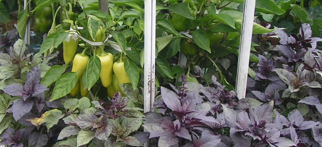 Рослини проти комах відлякують, фото