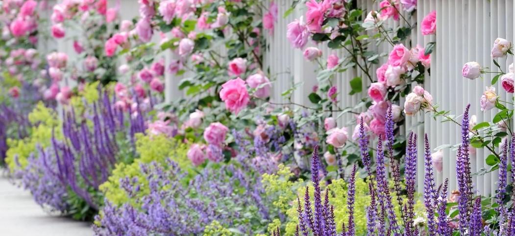 Рослини-захисники троянд від шкідників