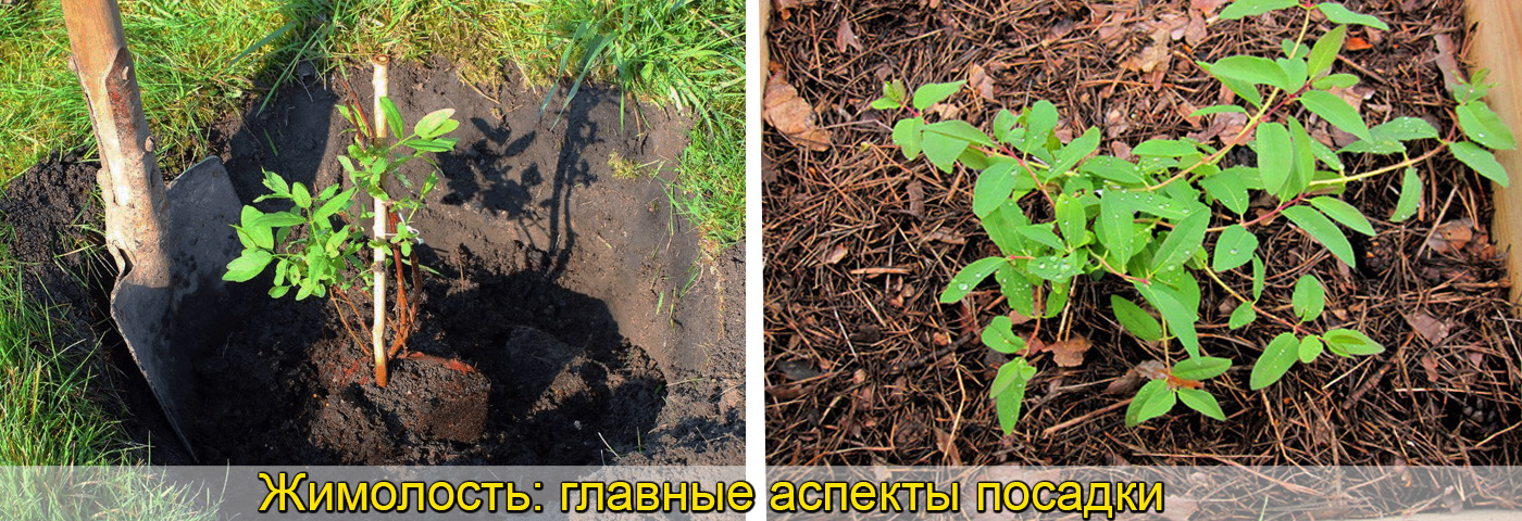 Саженцы жимолости выращивание. фото