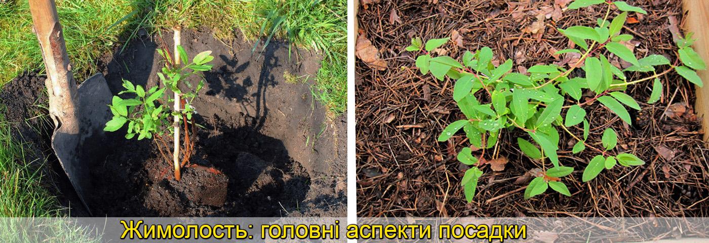 Саженці жимолості вирощування фото