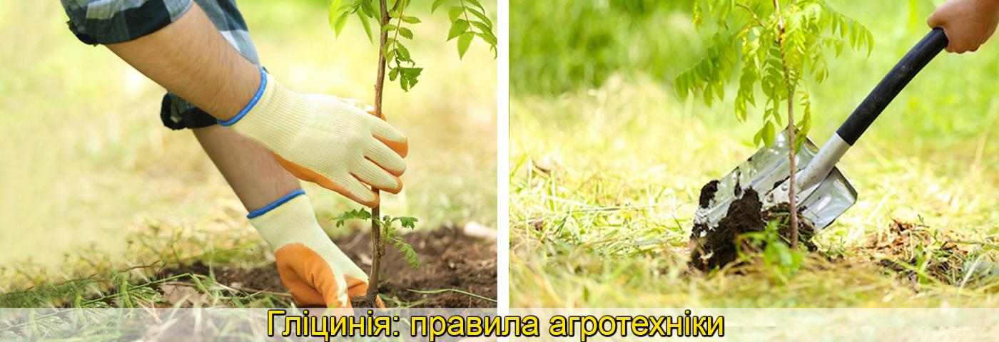вирощування садженців гліцинії, фото