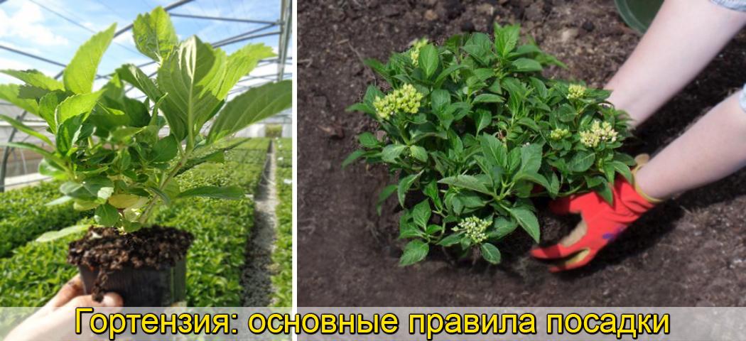 Выращивании саженцев гортензии, фото