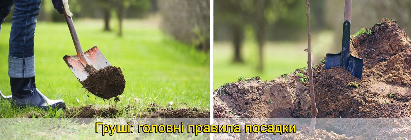 груша вирощування, підживлення, фото