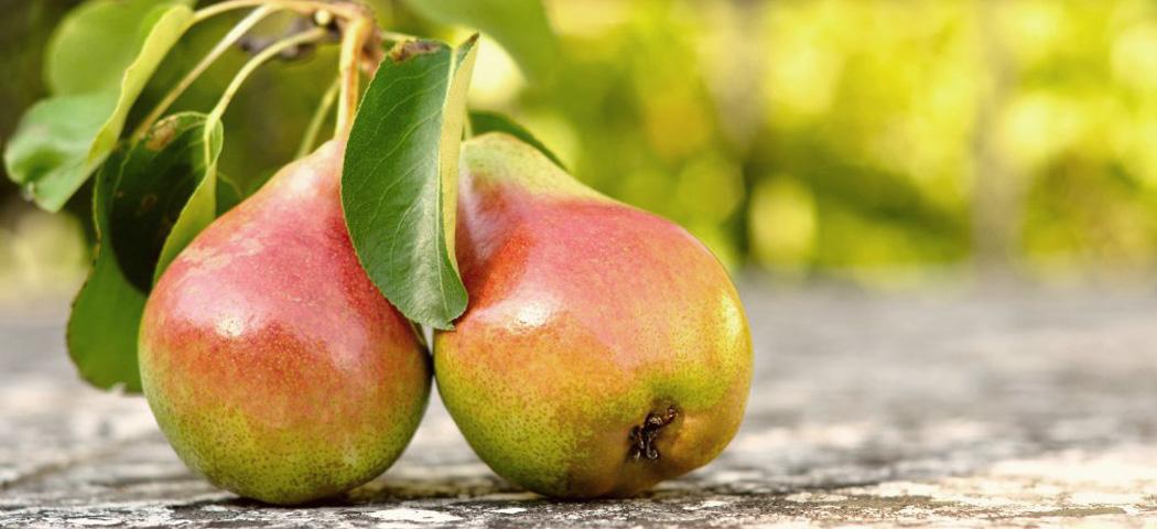догляд вирощування та підживлення груші, фото