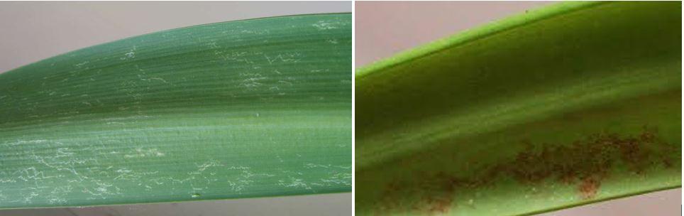 Хвороби та шкідники гіппеаструма, фото