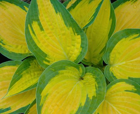 Хоста желтая с зеленой окантовкой, окраска листьев, фото