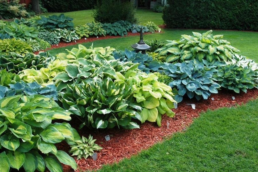 Хоста в саду, условия выращивания, окраска листьев, фото