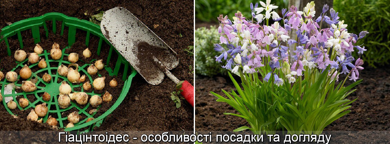 Гіацінтоідес посадка догляд вирощування, фото