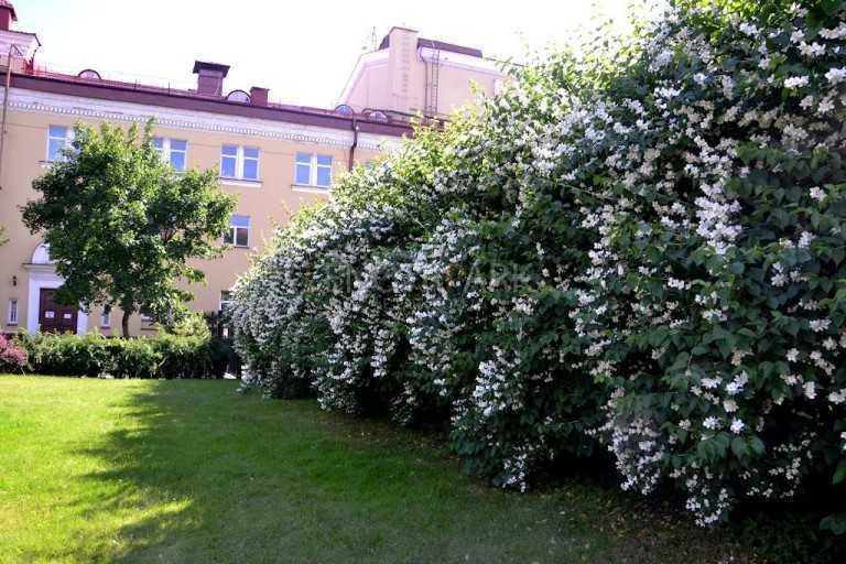 Жасмин садовый чубушник в дизайне сада, фото