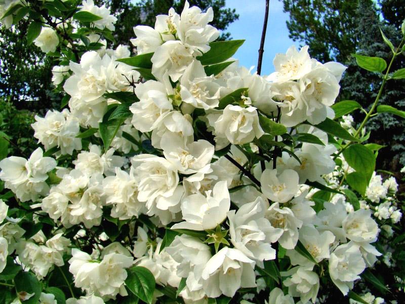 Жасмин растение цветение, фото