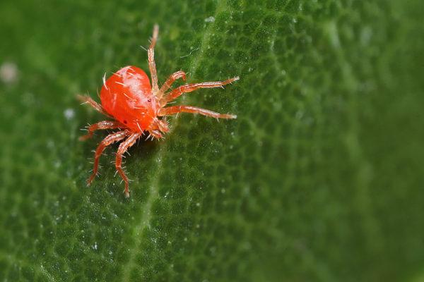 Павутинний кліщ, шкідник рослин, як виглядає, препарати, фото