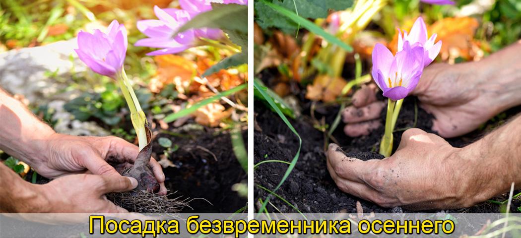 колхикум выращивание луковиц фото