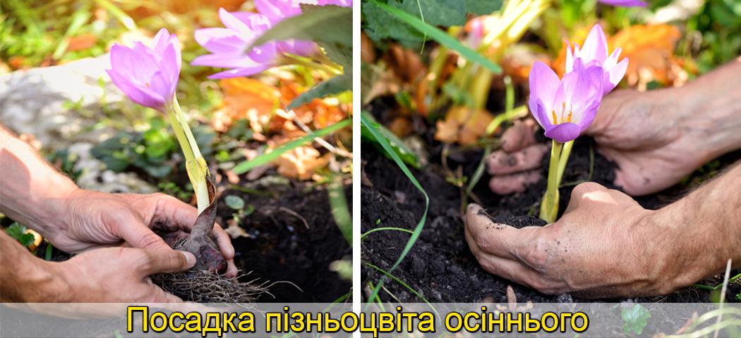 колхікум вирощування цибулин фото