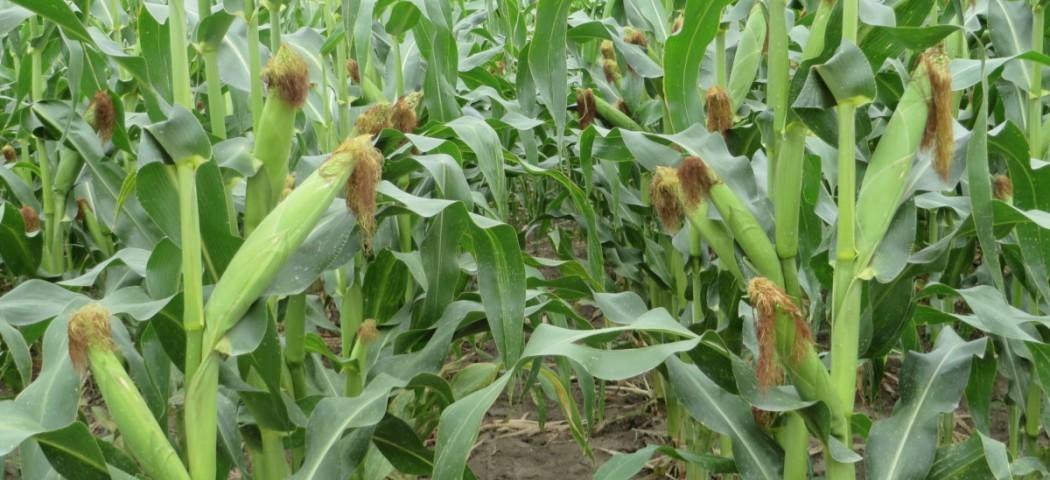 Кукурудза на дачі як виростити, фото