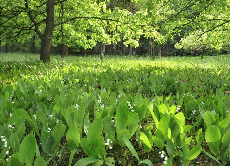 Растения для тени, ландыши растут в тени, теневой сад, фото