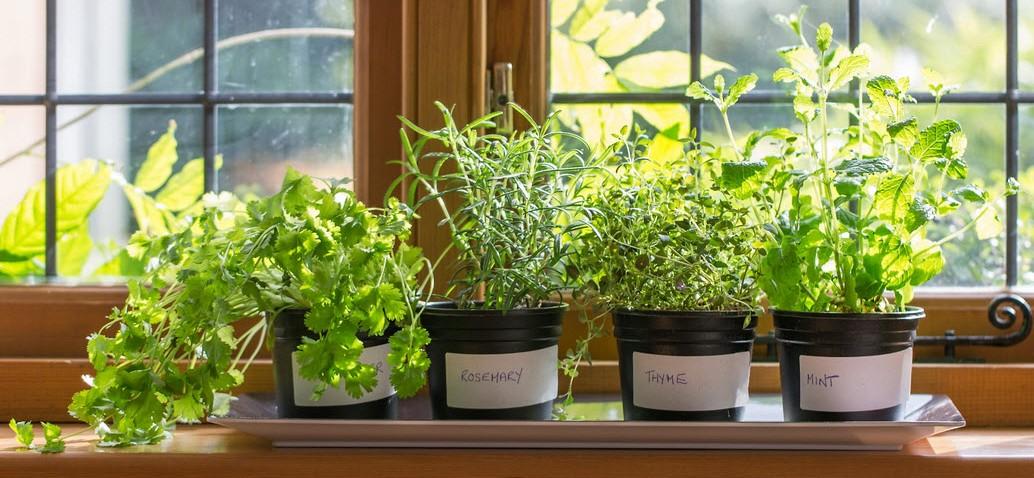 Какие лекарственные травы выращивать на подоконнике. фото