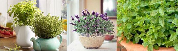 Выращиваем аптечные травы дома: лаванда, мята, эхинацея, фото