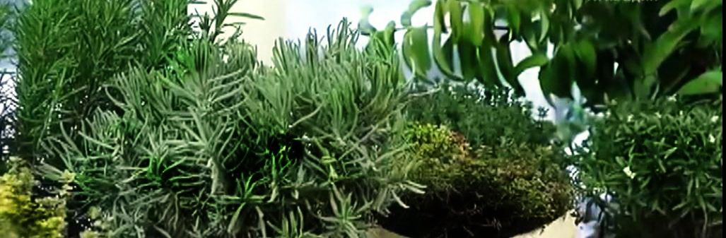 Как Як виростити лікарські траві на підвіконні взимку, фотолекарственные травы на подоконнике зимой, фото