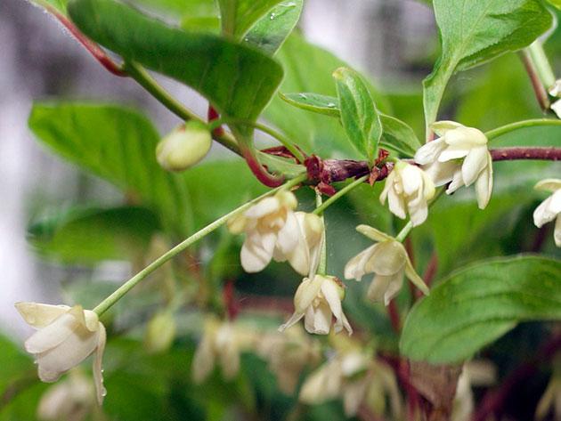 Цвітіння лимоннику, вирощування та догляд, фото