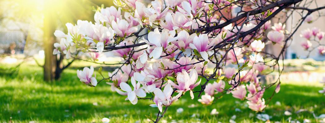Саджанці магнолії для саду, види сорта, фото