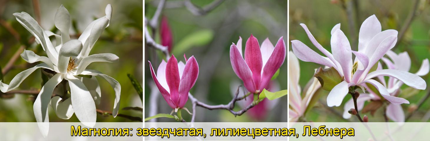 Магноли гибридная, Суланжа, крупноцветковая, саженцы, фото