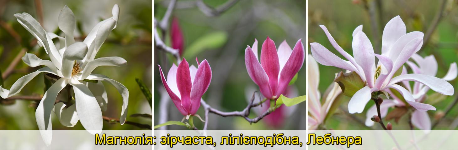 Магнолія гібридная, Суланжа, великоквіткова, саджанці, фото