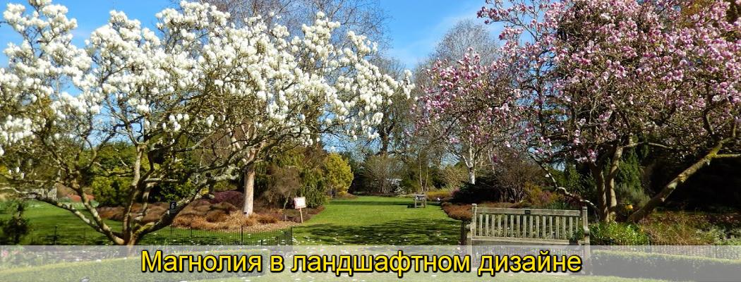 магноля в дизайне сада, саженцы, фото