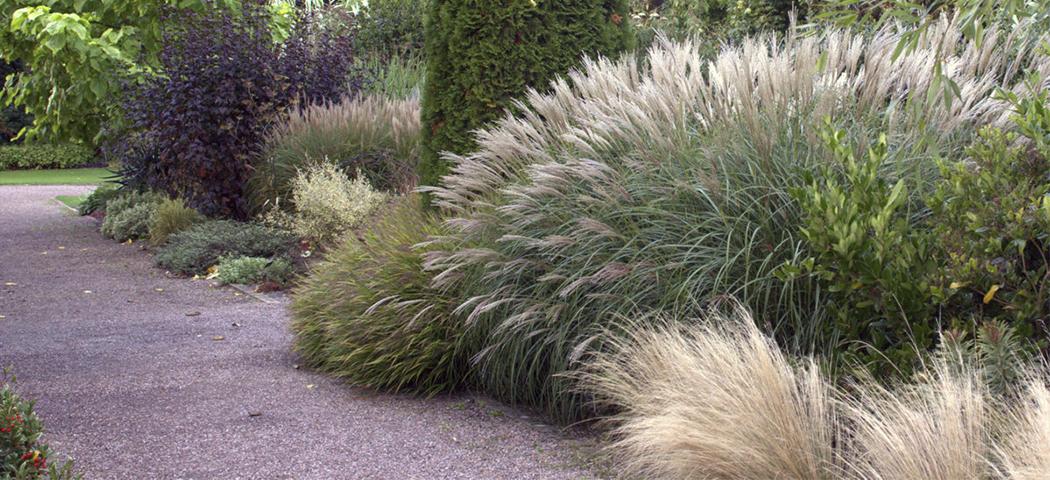 Міскантус, види та сорти для саду, фото та описи