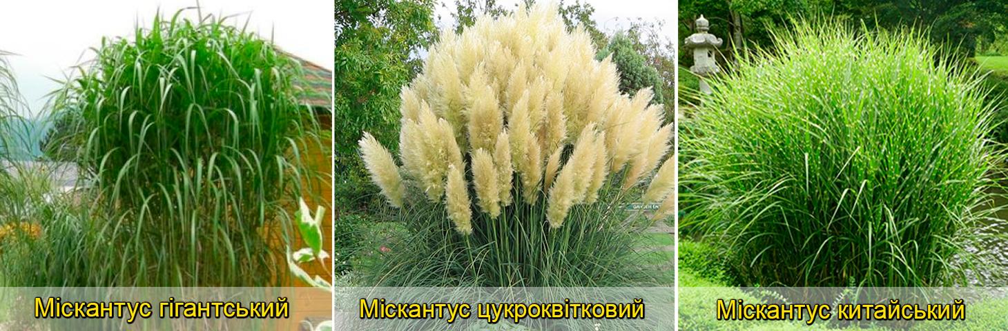 Міскантус види та сорти для саду, у дизайні, фото