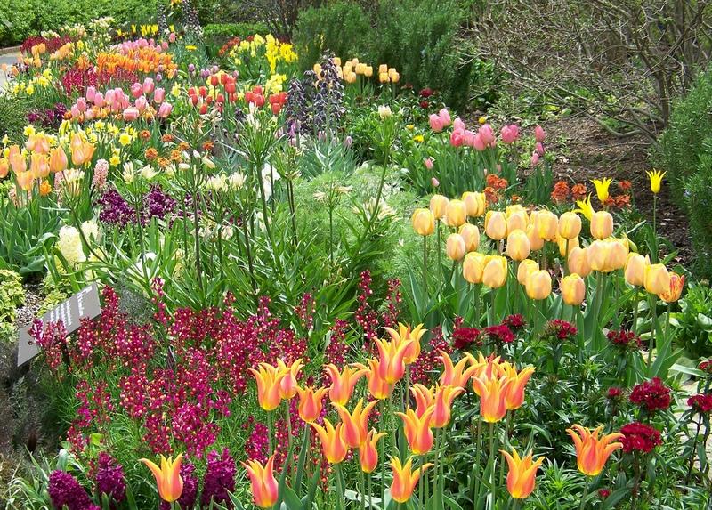 Клумба багаторічники тюльпани, фото