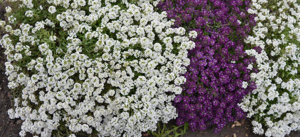 Цветы цветут все лето семенами, фото