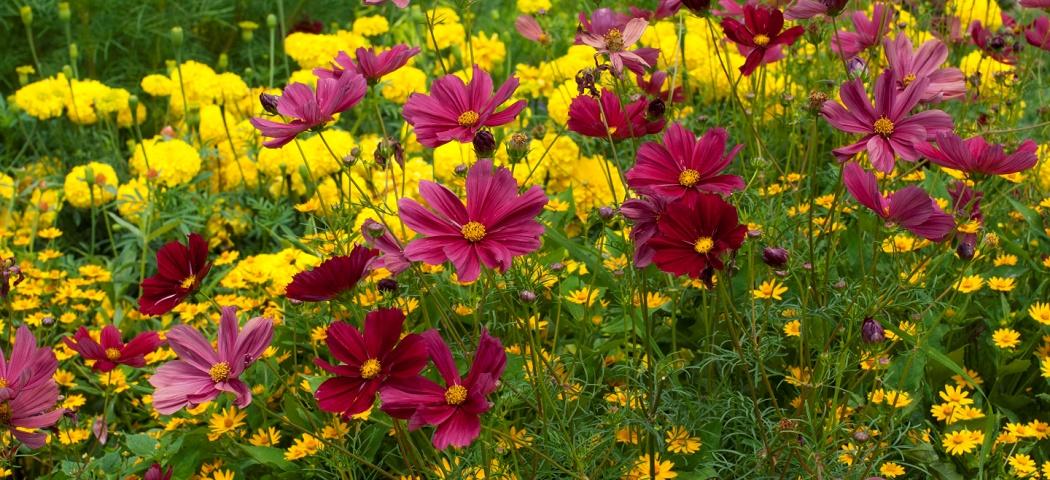 Неприхотливые однолетние цветы, фото