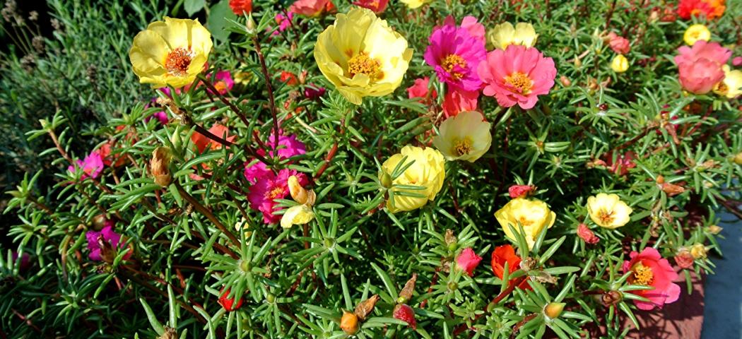 Неприхотливые однолетники цветущие летом из семян, фото