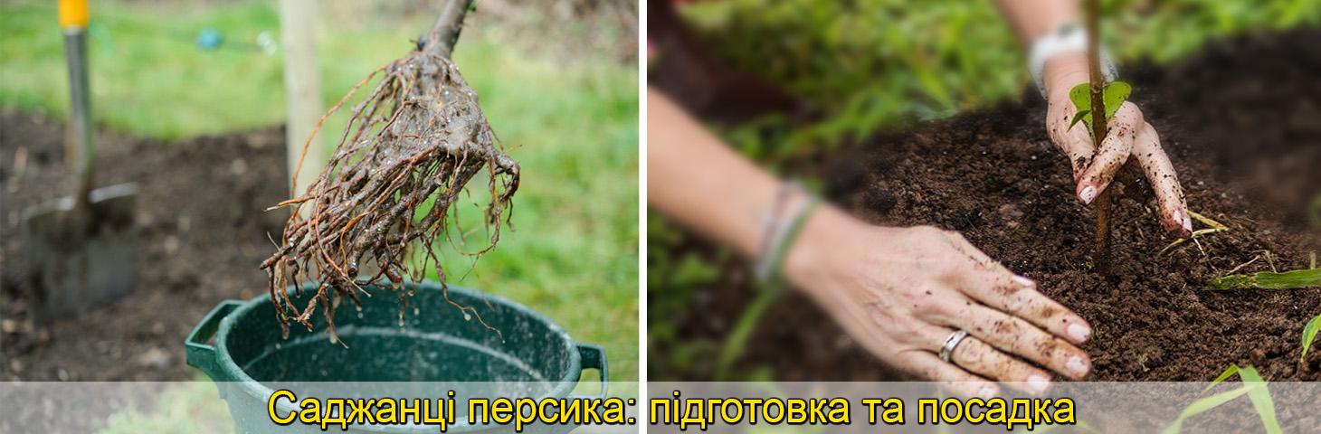 посадка саджанців персика. фото