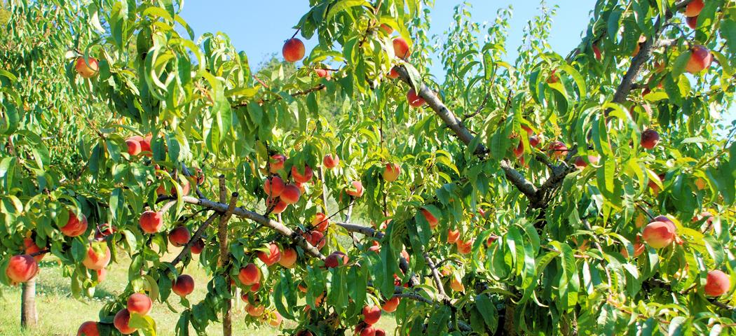 уход и посадка персика, выращивание, фото