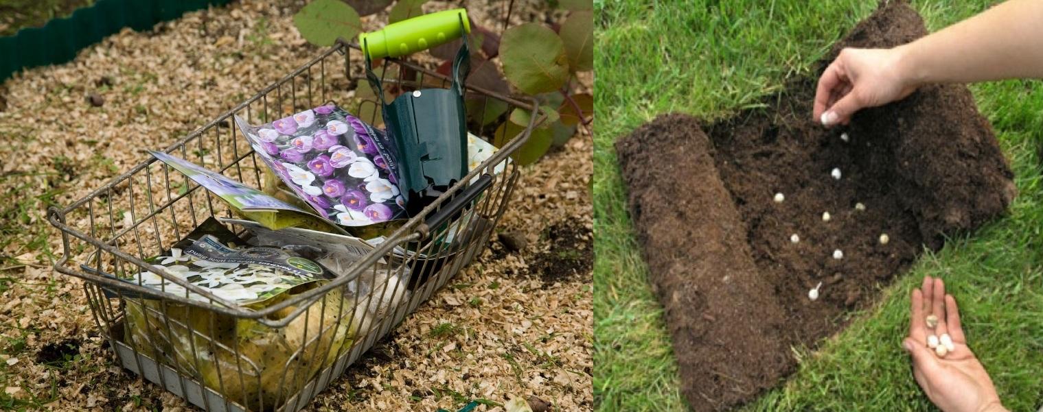 Посадка цибулин саджалкою,цибулинні у газоні, фото