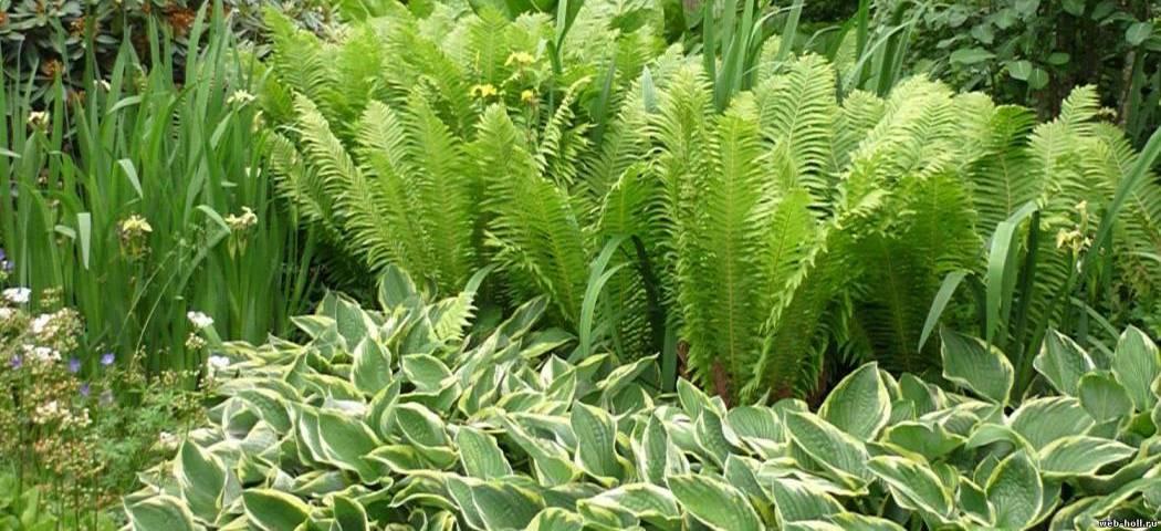 Растения для тенистых участков. фото