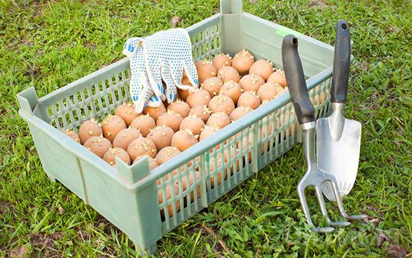 Протравители картофеля, клубней, луковиц, фото