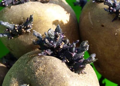 Протравитель для картошки, фото