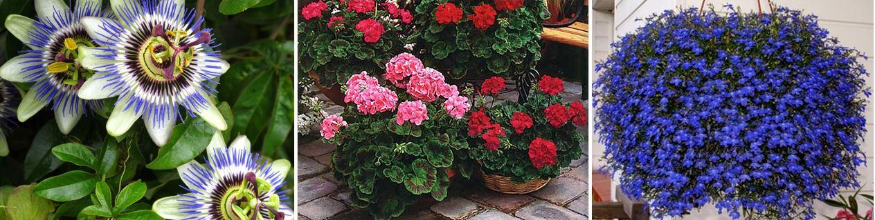 Які квіти сіяти у січні, фото