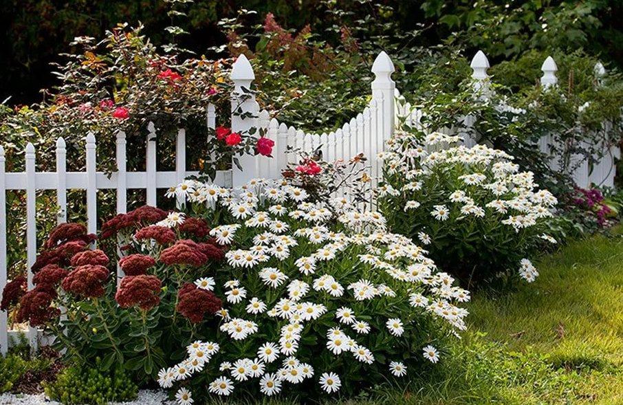 Ромашка садовые в ландшафтном дизайне, фото