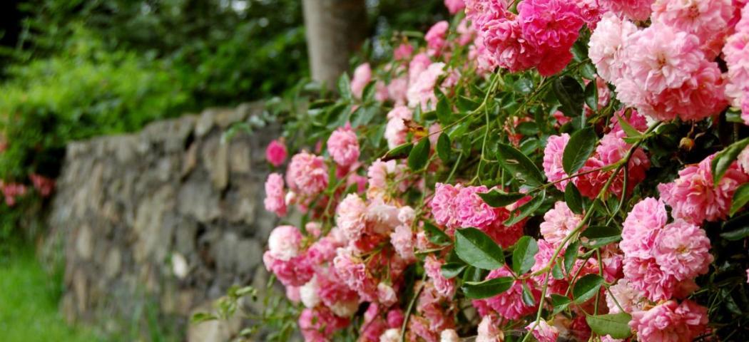 Захворювання та препарати для лікування роз. фото
