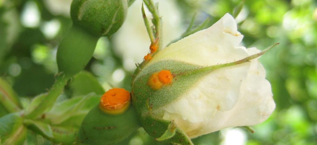 Іржа на трояндах, лікування, фото