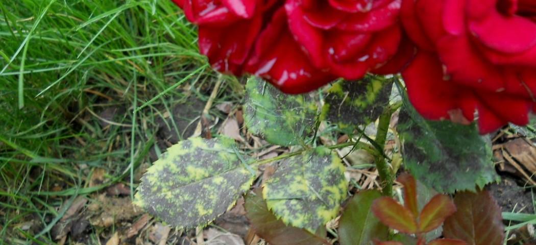 Чорна плямистість на розах, лікування, фото