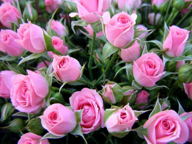 Укриття троянд на зиму: подбайте про своїх красунь