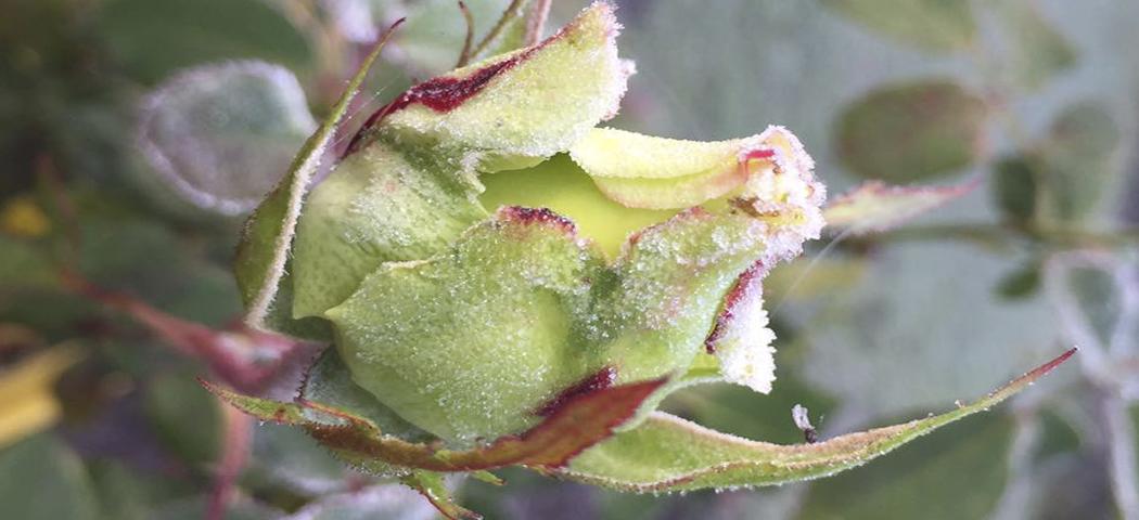 догляд за розами взимку, фото