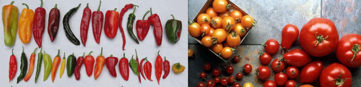Різні сорти та гібриди перцю та томатів, насіння, фото