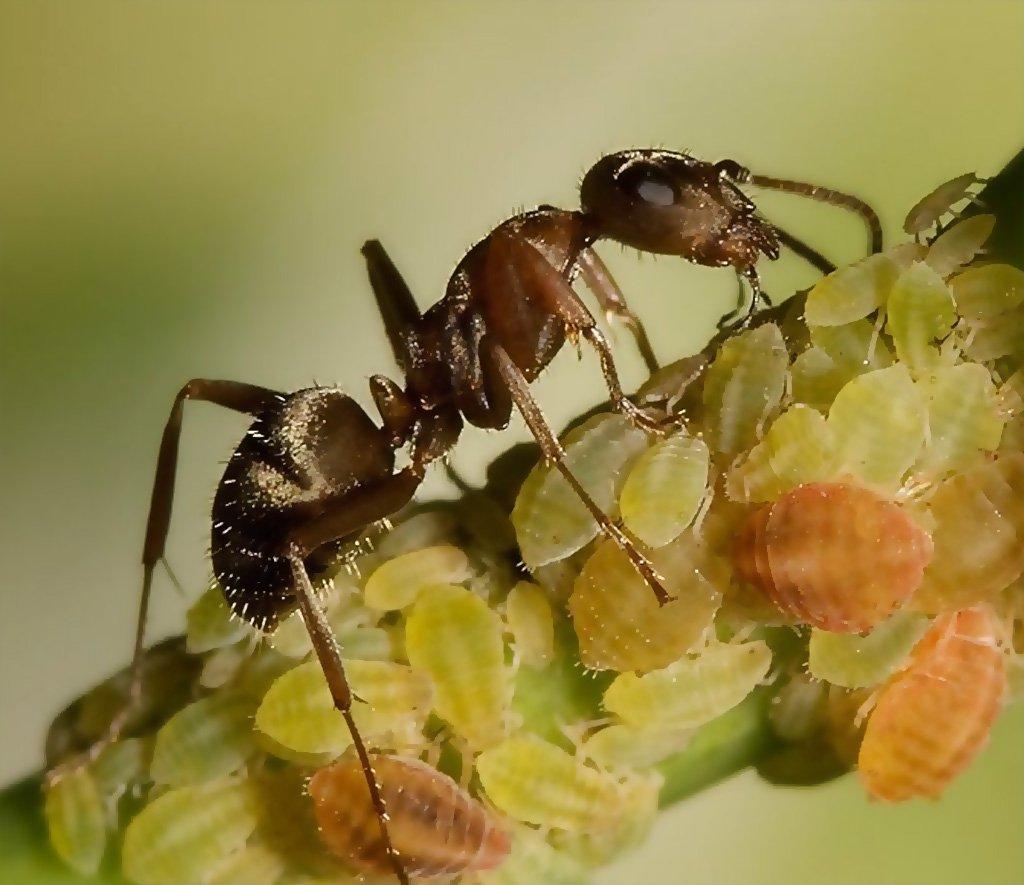 Муравьи разносят тлю по растениям, фото