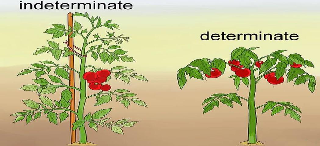 Відмінності томатів детермінантного та індетермінантного, фото